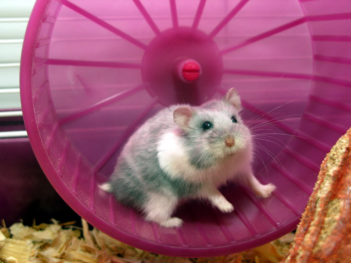 Photo of gerbil in running wheel in cage